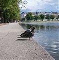 Pidgeons at Copenhagen lake