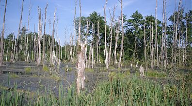 dead trees in swamp